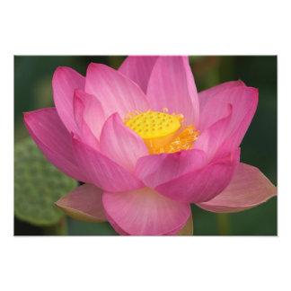 Franklin NC, Perrys vattenträdgård, lotusblomma 2 Fototryck