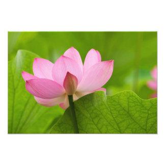 Franklin NC, Perrys vattenträdgård, lotusblomma Fototryck