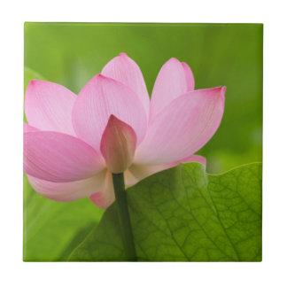 Franklin NC, Perrys vattenträdgård, lotusblomma Kakelplatta