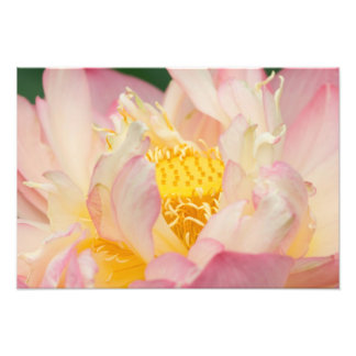 Franklin NC, Perrys vattenträdgård, lotusblomma me Fototryck