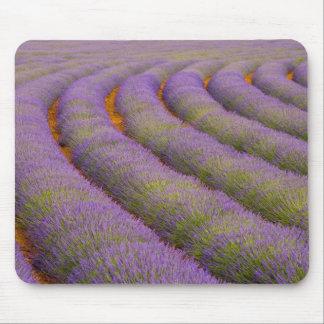 Frankriken Provence region. Krökt ror av Musmatta
