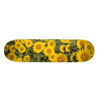 Frankriken Provence, Valensole. Fält av Skateboard Bräda 20,5 Cm