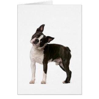 Fransk bulldogg - valphund - frenchiehund OBS kort