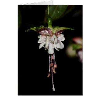 Fuchsia hybrid- Southgate kort