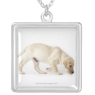 Gå för valp för Labrador Retriever Silverpläterat Halsband
