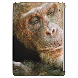Gammal Male schimpans för vild (panorera