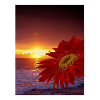 Gerber daisy och solnedgång vykort