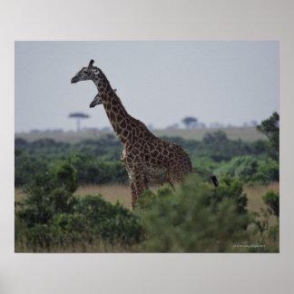 Giraff i afrika poster