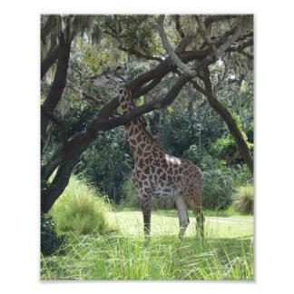 Giraff i natur fototryck
