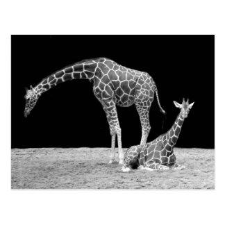 Giraff i svartvitt vykort