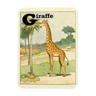Giraff som äter acaciaen i öknen magnet