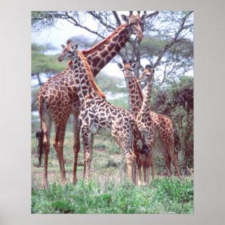 Giraffgrupp eller flock med barn, Giraffa Poster