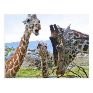 Giraffskvallervykort Vykort