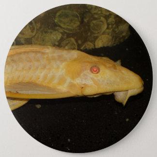 Glyptoperichthys gibbiceps jumbo knapp rund 15.2 cm
