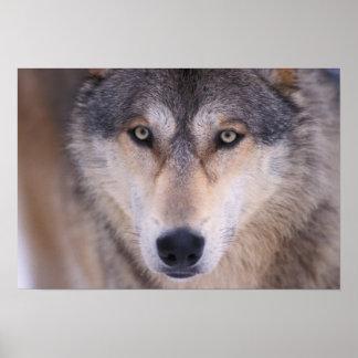 grå varg, Canislupus, tätt upp av ögon in Poster