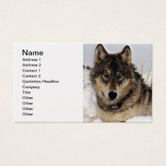 Grå varg eller timmervarg som lägger i snön visitkort