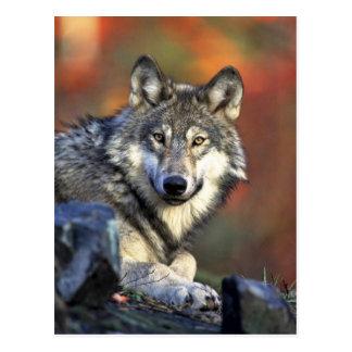 Grå varg vykort