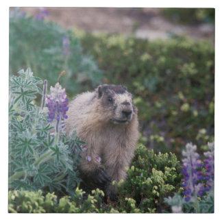 grånad marmot, Marmotacaligata som matar på silkes Kakelplatta