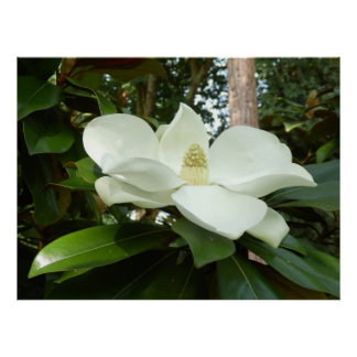 Grandiflora affisch för Magnolia