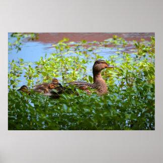 Gräsand och Ducklings Poster