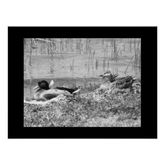 Gräsandankor - svart- vitaffisch
