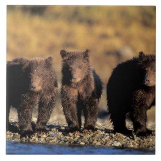 Grizzlybjörn, brun björn, ungar, Katmai medborgare Kakelplatta