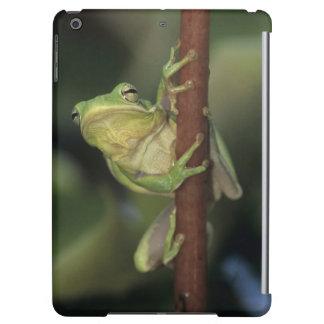 Gröna Treefrog, cinerea Hyla, vuxen på gult