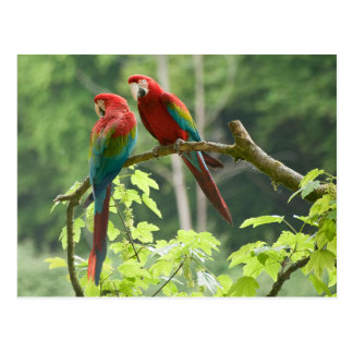 Grönt-påskyndade Macaws Vykort