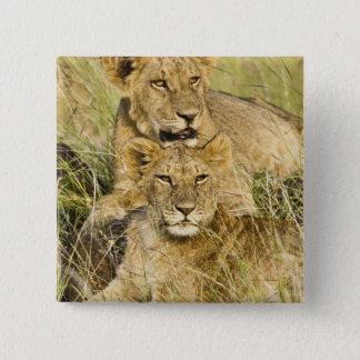 Grupp av lejona ungar, Panthera leo, Masai Mara, Standard Kanpp Fyrkantig 5.1 Cm