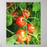Grupp av tomater posters