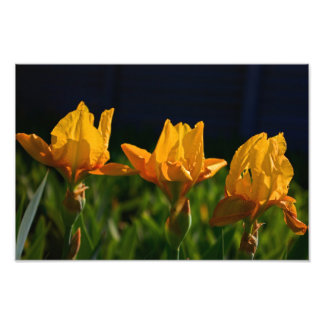 gul daylily fototryck