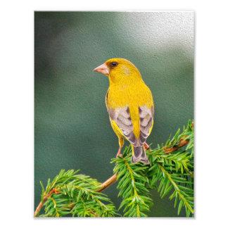 Gul fågel på gren fototryck