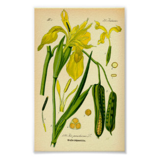 Gul Iris (Irispseudacorusen) Poster