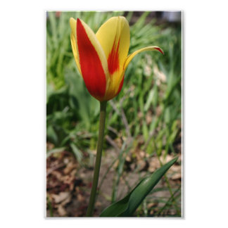 Gul konst för natur för tryck för blommatulpanfoto fotokonst