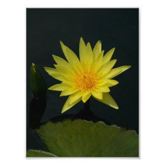 Gul lotusblommanäckros fototryck