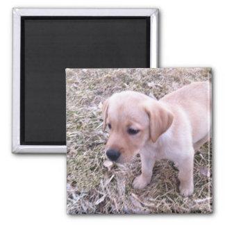 Gul magnet för valp för Labrador Retriever