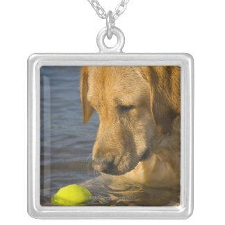 Gula labrador med en tennisboll i vatten silverpläterat halsband
