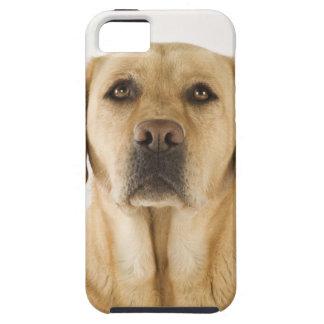 Guld- Labrador Retriever (Canisfamiliaris). iPhone 5 Skydd