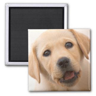 Guld- Labrador valp (8 gammala månader) Magnet
