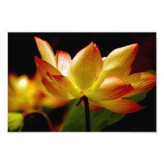 Guld- lotusblomma fototryck
