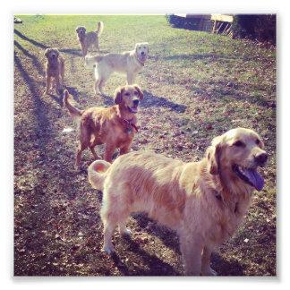 Guld- uppställda retrieverhundar för vintage fototryck