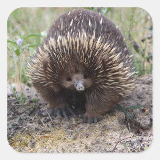Gullig Echidna från Australien Fyrkantigt Klistermärke