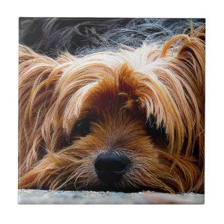 Gullig hund för Yorkshire Terrier Kakelplatta