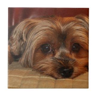 Gullig hund för yorkshire terrier, yorkie kakelplatta