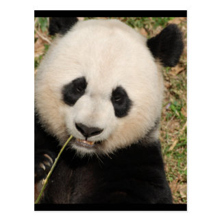 Gullig jätte- Pandabjörn Vykort