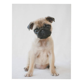 Gullig ung mopshund