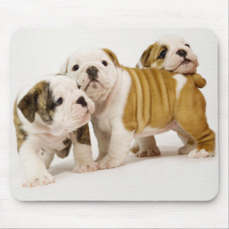 Gulliga engelska bulldoggvalphundar som leker Mous Musmatta