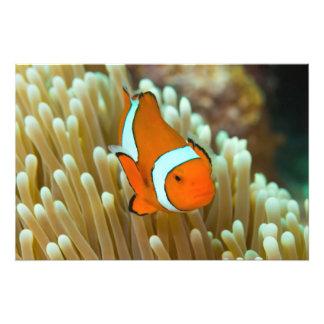 Gulligt hav för Clownfish underbart Fototryck