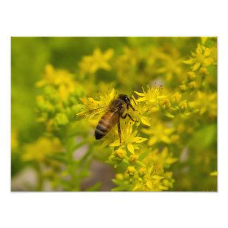 Gult blomma- och honungbi Maleny 2016 Fototryck