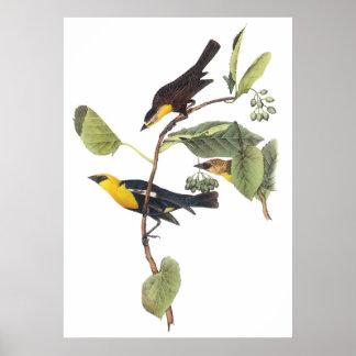 Gult-hövdad Blackbird Poster